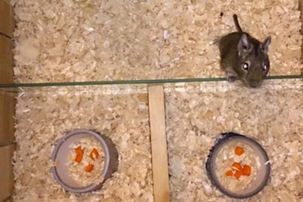 Image for As easy as 1, 2, 3 as Hartpury publish new research on maths maestro rodents!