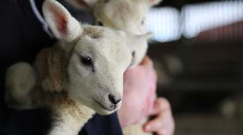 Hartpury leap into lambing season