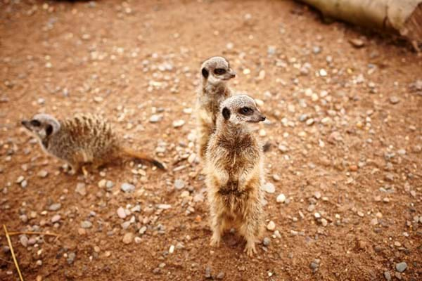 three meerkats in their enclosure in the hartpury animal collection