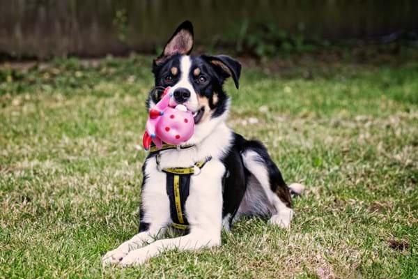 Image for Hartpury University study shows how dogs can benefit from scented toys