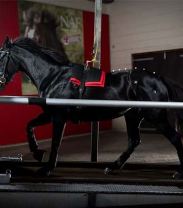 Dark bay horse on high-speed treadmill in Hartpury's Equine Therapy Centre